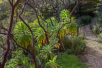 Echium under open branching Manzanita in summer-dry drought tolerant california garden - Blake Garden