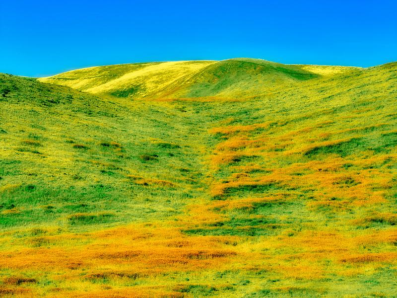 Devil's Lettuce or Fiddleneck in meadow (Amsinckia tessellata). Carrizo Plain National Monument, California