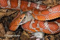 1R22-636z  Corn Snake, Banded Corn Snake, Elaphe guttata guttata or Pantherophis guttata guttata, catching and eating mouse