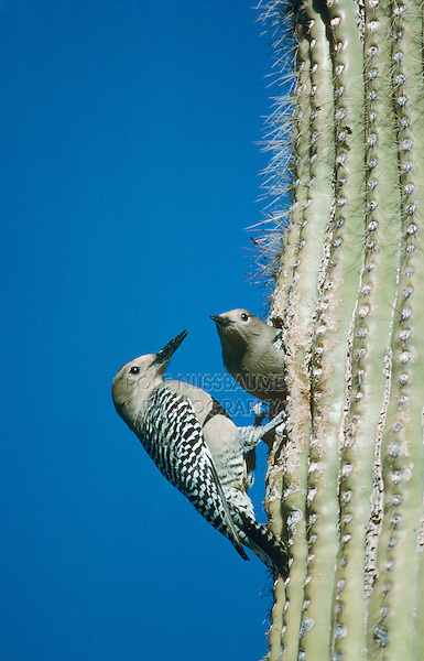 Gila Woodpecker, Melanerpes uropygialis, pair at nesting cavity in Saguaro Cactus, Tucson, Arizona, USA