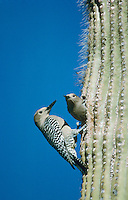 Gila Woodpecker, Melanerpes uropygialis, pair at nesting cavity in Saguaro Cactus, Tucson, Arizona, USA