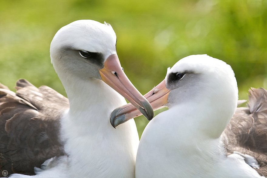 A bonded pair sharing a quiet moment of mutual grooming. Courtship