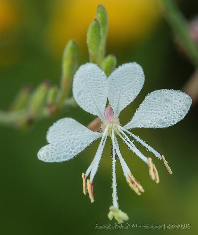 Gaura wildflower