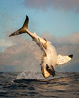 great white shark, Carcharondon carcharias, breaching on seal decoy, Seal Island, False Bay, South Africa