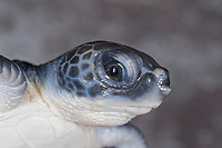green sea turtle, Chelonia mydas, hatchling, Boca Raton, Florida, USA (c)