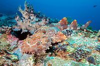 ornate wobbegong, Orectolobus ornatus, South Pacific Ocean