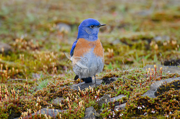 Male Western Bluebird (Sialia mexicana) on rocky outcropping covered with haircap moss.   Columbia River Gorge National Scenic Area, Washington-Oregon border.  Early Spring.
