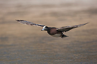 American Wigeon (Anas americana) adult flying, Bosque del Apache National Wildlife Refuge , New Mexico, USA