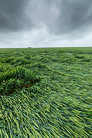 Wheat lodged following heavy rain & wind - Lincolnshire, June