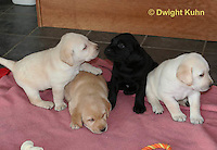 SH37-508z Lab Puppies - Genetic variation of black, yellow and white, 4 weeks old,  Labrador Retriever..