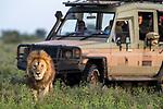 Male lion (Panthera leo) being watched by tourists. Woodland on the border of Serengeti / Ngorongoro Conservation Area (NCA) near Ndutu, Tanzania.