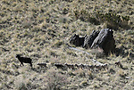 About 1700 sheep from the Borda Land and Sheep Company of Gardnerville graze in south Carson City, Nev., on Wednesday, April 25, 2018. The six-week grazing program, which began in 2006, helps reduce cheat grass and other fire fuels. <br /> Photo by Cathleen Allison/Nevada Momentum