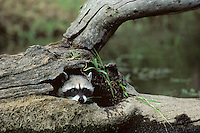 Raccoon (Procyon lotor) peering out of hallow log.  Pacific Northwest.  Spring.