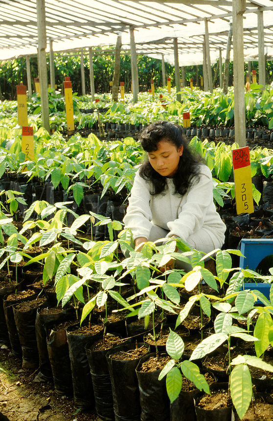 Young woman tending seedlings in a cocoa plant nursery, Sabah, Borneo, Malaysia.