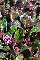Bergenia 'Eric Smith' 83 in flower