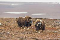 Bachelor herd of Muskox on Anvil mountain, in Nome, Alaska.