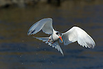 Elegant Tern in Flight Head-on, Bolsa Chica Wildlife Refuge, Southern California