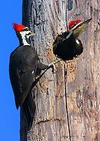 Male and female pileated woodpeckers at nest hole in utility pole adjacent to a school parking lot. The female waits her turn on the nest while the male emerges after about a 1.5 hour shift. The birds regularly took turns on the nest.