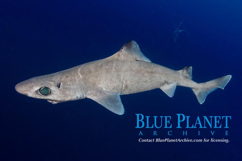 Gulper Shark, Centrophorus granulosus, Cape Eleuthera, Bahamas, Caribbean, Atlantic Ocean