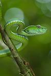 Pope's Pit Viper (Trimeresurus popeorum) in lowland forest. Danum Valley, Sabah, Borneo.
