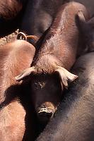 Spanien, Andalusien, Schweinezucht für Schinken in Jabugo