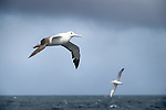 Wandering albatross (or snowy albatross, white-winged albatross or goonie) (Diomedea exulans) in flight over the South Atlantic Ocean near South Georgia.