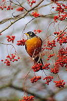 American Robin (Turtis migratorius) feeding on berries.  winter.