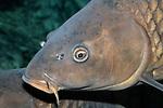 Common Carp close-up