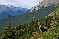 Near full curl Bighorn Sheep Ram (Ovis canadensis).  Northern Rockies.  Fall.