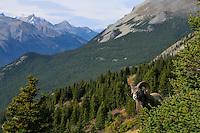 Near full curl Bighorn Sheep Ram (Ovis canadensis).  Northern Rockies.  Fall.