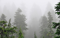 Evergreen trees enshrouded by fog in Mt Rainier National Park, WA State