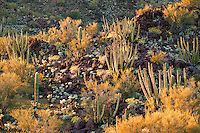 Organ Pipe Cactus (Stenocereus thurberi) Brittlebush (Encelia farinosa) From Ajo Mountain Drive, Organ Pipe Cactus National Monument, Arizona