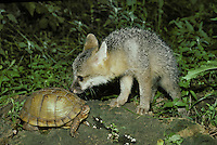 Gray fox pup gently checks out the box turtle during a chance meeting in the woods, Midwest USA
