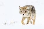 Adult coyote (Canis latrans) with porcupine quills lodged in its muzzle. Hayden Valley, Yellowstone National Park, Wyoming, USA. January.