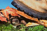 1R44-006x  Eastern Box Turtle - shell protecting turtle  - Terrapene carolina