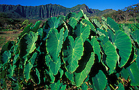 Dry land kalo (taro) at Kaala Farms, with Mt. Kaala and the Waianae Mountains in the background, Waianae, Oahu