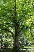 Sommer-Linde, Sommerlinde, Linde, Tilia platyphyllos, Tilia grandifolia, large-leaved lime, Large Leaved Lime, largeleaf linden, large-leaved linden, lime, linden, Le tilleul à grandes feuilles