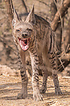 "A 'laughing' hyena grins just after eating its kill.  The pleased looking scavenger bares its teeth, giving the appearance of a wide mouthed smile.<br /> <br /> The young Indian Striped Hyena was pictured at Little Rann of Kutch, a desert habitat situated in the province of Gujarat.  Cotton trader Nilesh Shah, 43, from Ahmedabad, who took the photos, said: ""I had gone there for one of my expeditions - to picture animals in their natural habitat.  SEE OUR COPY FOR DETAILS.<br /> <br /> Please byline: Nilesh Shah/Solent News<br /> <br /> © Nilesh Shah/Solent News & Photo Agency<br /> UK +44 (0) 2380 458800"