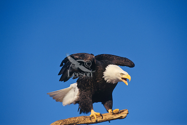 Bald Eagle (Haliaeetus leucocephalus) calling from perch.