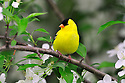 00445-029.07 American Goldfinch male is perched in a crab apple tree in bloom.  Color, spring, landscape.