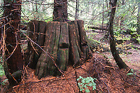 Old Growth Western Red Cedar Stump with Springboard Notches, Mt. St. Helens National Volcanic Monument, Washington, US