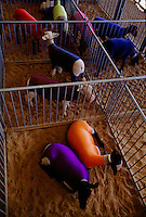 Freshly washed sheep keep their fleece clean until the judging by wearing brightly-colored spandex...which also makes for a 4-H county fair fashion statement in Angleton, Texas.