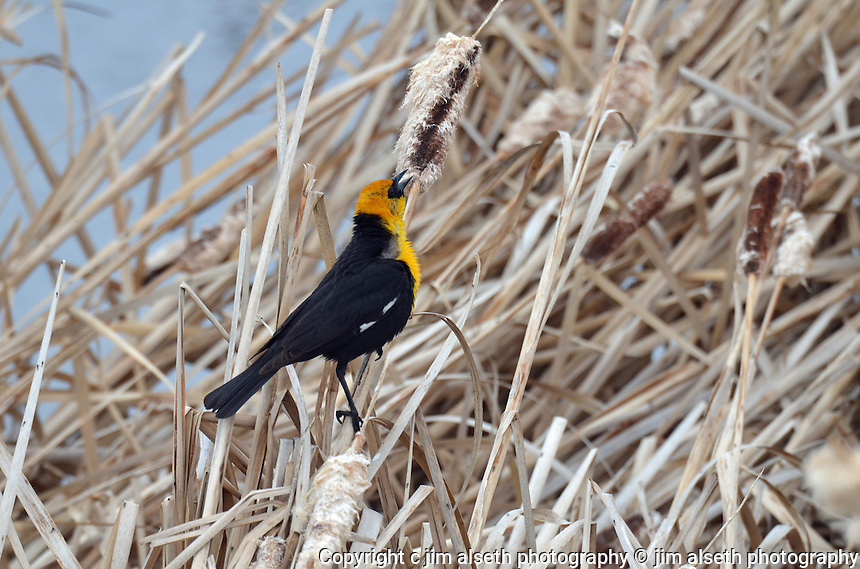 This Yellow-headed Blackbird sings his song perched by the waters of Gull Lake Alberta... Affordable stock photos with animal photos, wildlife photos and bird photos.