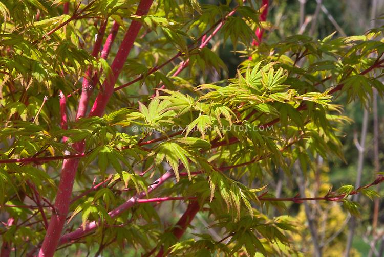 Acer palmatum 'Sango-kaku' Coral Bark Japanese Maple in spring bark and foliage