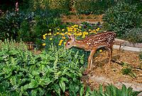 White tailed deer in vegetable garden eating basil, MIssouri USA