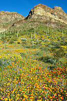 Organ Pipe Cactus (Stenocereus thurberi), Mexican Gold Poppies (Eschscholzia californica subsp. mexicana) and the Deablo Mountains from Ajo Mountain Drive, Organ Pipe Cactus National Monument, Arizona