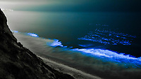 Bottlenose dolphins, Tursiops truncatus, swim through red tide, hunt a school of fish, lit by glowing bioluminescence caused by microscopic Lingulodinium polyedrum dinoflagellate organisms which glow blue when agitated at night, La Jolla, California, USA, East Pacific Ocean