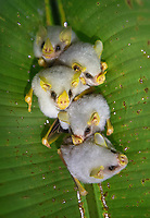 This was my first-ever sighting of Honduran white bats. I'd like to get another crack at them.