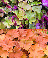 Heuchera Caramel in two phases of leaf foliage color