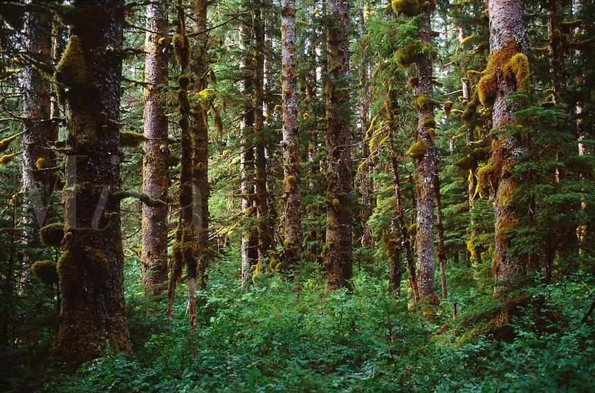 SITKA SPRUCE FOREST - GLACIER BAY NATIONAL PARK, ALASKA